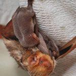 خفاش تعرف على حياة الخفاش وأنوعها صور ميكس 1