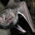 خفاش تعرف على حياة الخفاش وأنوعها صور ميكس 10