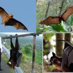 خفاش تعرف على حياة الخفاش وأنوعها صور ميكس 12