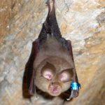 خفاش تعرف على حياة الخفاش وأنوعها صور ميكس 13