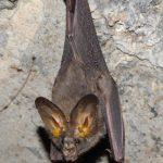 خفاش تعرف على حياة الخفاش وأنوعها صور ميكس 15