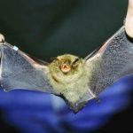 خفاش تعرف على حياة الخفاش وأنوعها صور ميكس 18