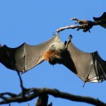 خفاش تعرف على حياة الخفاش وأنوعها صور ميكس 21