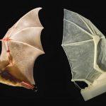 خفاش تعرف على حياة الخفاش وأنوعها صور ميكس 27