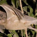 خفاش تعرف على حياة الخفاش وأنوعها صور ميكس 34