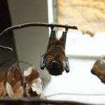 خفاش تعرف على حياة الخفاش وأنوعها صور ميكس 8