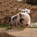 خنزير تعرف على أنواع الخنازير وحياتها صور ميكس 16