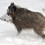 خنزير تعرف على أنواع الخنازير وحياتها صور ميكس 17
