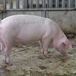 خنزير تعرف على أنواع الخنازير وحياتها صور ميكس 2
