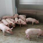 خنزير تعرف على أنواع الخنازير وحياتها صور ميكس 20