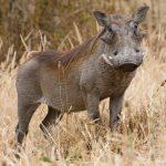 خنزير تعرف على أنواع الخنازير وحياتها صور ميكس 23