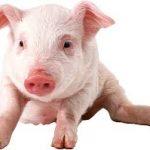 خنزير تعرف على أنواع الخنازير وحياتها صور ميكس 25