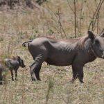 خنزير تعرف على أنواع الخنازير وحياتها صور ميكس 26