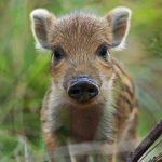 خنزير تعرف على أنواع الخنازير وحياتها صور ميكس 27