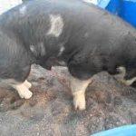 خنزير تعرف على أنواع الخنازير وحياتها صور ميكس 29