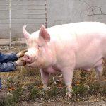 خنزير تعرف على أنواع الخنازير وحياتها صور ميكس 30