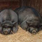 خنزير تعرف على أنواع الخنازير وحياتها صور ميكس 31