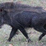 خنزير تعرف على أنواع الخنازير وحياتها صور ميكس 33