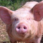 خنزير تعرف على أنواع الخنازير وحياتها صور ميكس 4