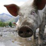 خنزير تعرف على أنواع الخنازير وحياتها صور ميكس 5