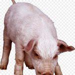 خنزير تعرف على أنواع الخنازير وحياتها صور ميكس 6