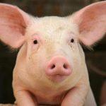 خنزير تعرف على أنواع الخنازير وحياتها صور ميكس 7