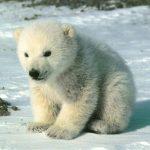 دب 2019 معلومات كاملة عن الدب صور ميكس 21