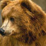 دب 2019 معلومات كاملة عن الدب صور ميكس 22