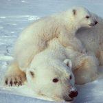دب 2019 معلومات كاملة عن الدب صور ميكس 24