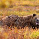 دب 2019 معلومات كاملة عن الدب صور ميكس 28