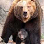 دب 2019 معلومات كاملة عن الدب صور ميكس 42