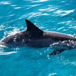 دلفين تعرف على حياة وأنواع الدلفين صور ميكس 11