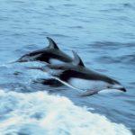 دلفين تعرف على حياة وأنواع الدلفين صور ميكس 14