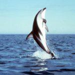 دلفين تعرف على حياة وأنواع الدلفين صور ميكس 26