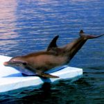 دلفين تعرف على حياة وأنواع الدلفين صور ميكس 34