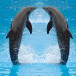 دلفين تعرف على حياة وأنواع الدلفين صور ميكس 8