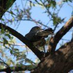 طائر الوقواق وحياة أنواع طائر الوقواق صور ميكس 13