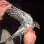 طائر الوقواق وحياة أنواع طائر الوقواق صور ميكس 14