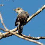 طائر الوقواق وحياة أنواع طائر الوقواق صور ميكس 16