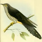 طائر الوقواق وحياة أنواع طائر الوقواق صور ميكس 17