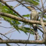 طائر الوقواق وحياة أنواع طائر الوقواق صور ميكس 19