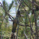 طائر الوقواق وحياة أنواع طائر الوقواق صور ميكس 22