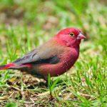 طائر الوقواق وحياة أنواع طائر الوقواق صور ميكس 24