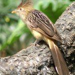 طائر الوقواق وحياة أنواع طائر الوقواق صور ميكس 25