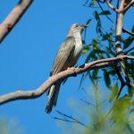 طائر الوقواق وحياة أنواع طائر الوقواق صور ميكس 3