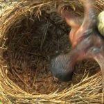 طائر الوقواق وحياة أنواع طائر الوقواق صور ميكس 32