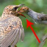 طائر الوقواق وحياة أنواع طائر الوقواق صور ميكس 33