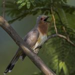 طائر الوقواق وحياة أنواع طائر الوقواق صور ميكس 35