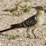 طائر الوقواق وحياة أنواع طائر الوقواق صور ميكس 36