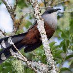 طائر الوقواق وحياة أنواع طائر الوقواق صور ميكس 37